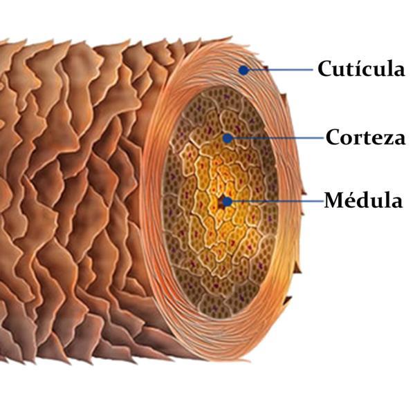 corteza medula cabello